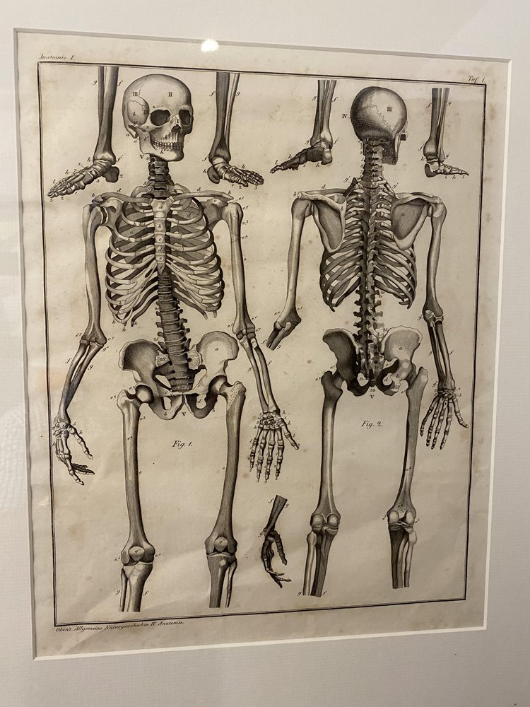6 x Lorenz Oken Anatomical Lithographs